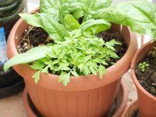Tomateras salvajes y espinacas 2