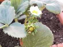 Flores de fresones - mayo