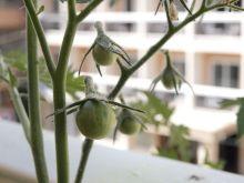 Tomates cherry negros