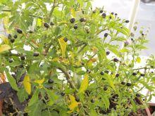 Planta de chiles amashito