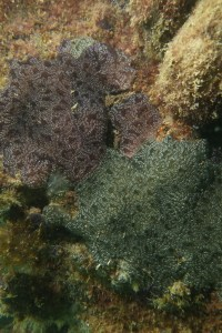 Colonial ascidians on jetty pile, Port River - Dan Monceaux (Force of Nature)