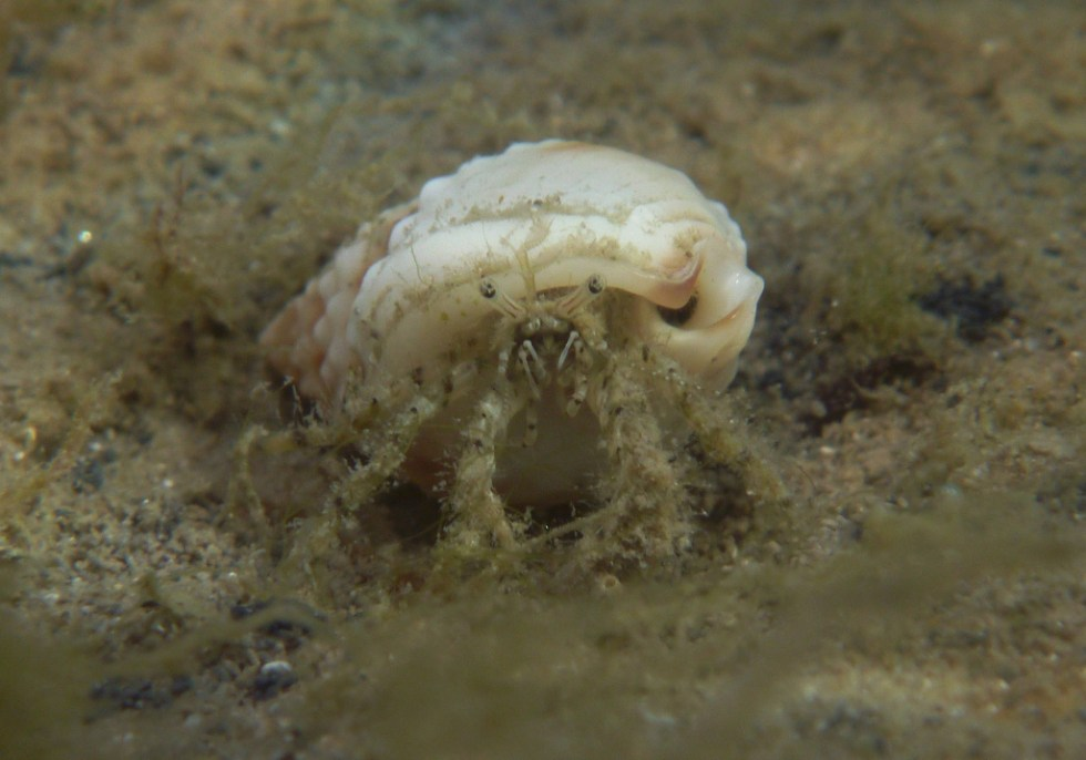 Tiny hermit crab, Port River - Dan Monceaux (Force of Nature)