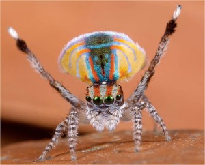 MEET THE CLUB KID OF THE SPIDER WORLD: The Cuddly Cute Peacock Spider
