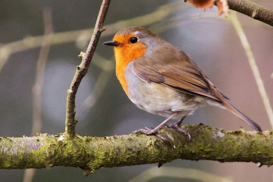The return of the Robin Trail