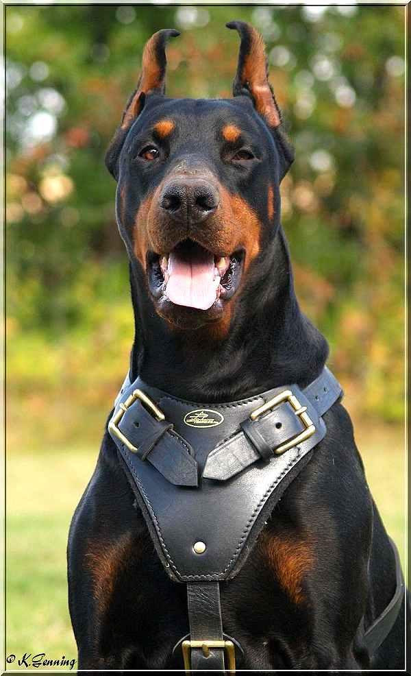 Agitation Protection Leather Dog Harness