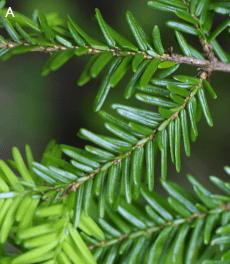Healthy Hemlock -- no Hemlock Woolly Adelgid infestation