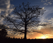 White oak tree standing amid the markers in Hixson Cemetery in Bledsoe County, Tenn
