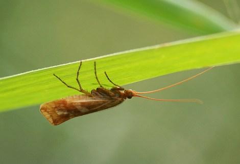Cinnamon Sedge 2 - Limnephilius lunatus