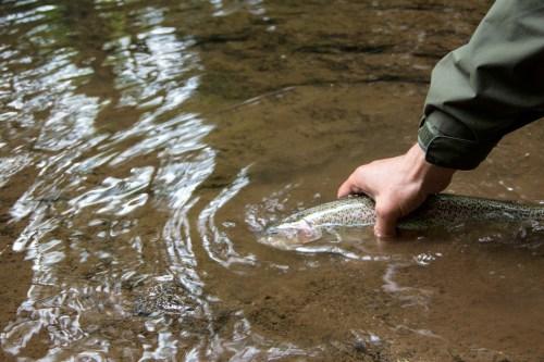 Forelle Äsche Fliegenfischen Urft Regenbogen2