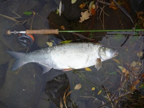 Fliegenfischen_Rapfen_Aspinator2