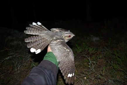 Zdjęcie: nightjarsweden.com