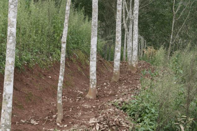 rubber plantation forests