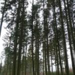 Obce drzewa w lasach szwedzkich - dyskusje, obawy.