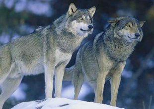 Polowania na wilki w Skandynawii.