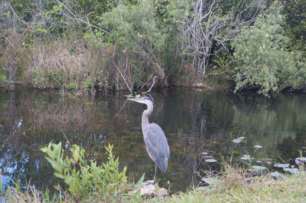 Czapla modra w Everglades