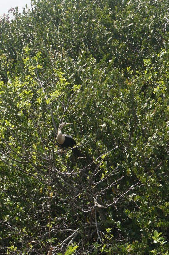 anhinga Everglades