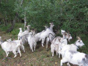 Kozy w Lasach Państwowych.