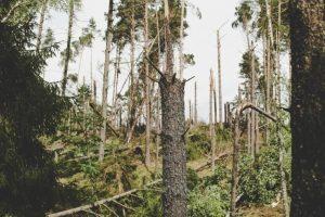 Den största naturkatastrofen i polska skogens historia.