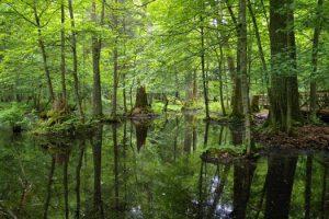 Vad är det för något som de bråkar om i Bialowiezaskogen?