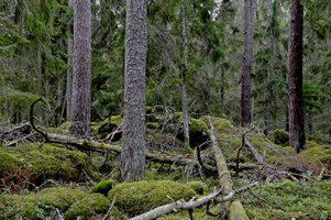 Szwedzki las pierwotny-część pierwsza.
