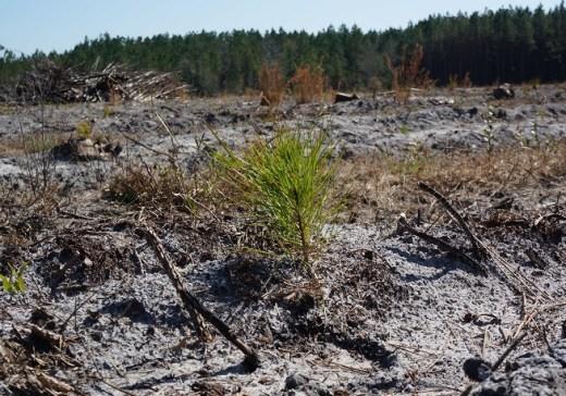 future pulpwood