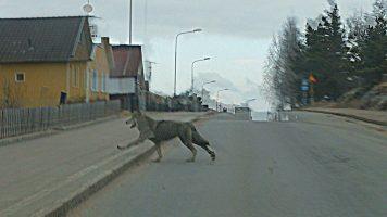 Złe czasy dla wilków.