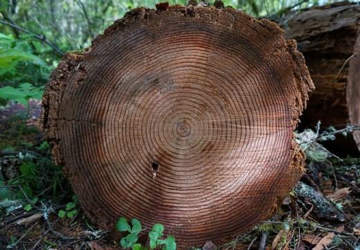 Puszczy Białowieskiej słoje drzew