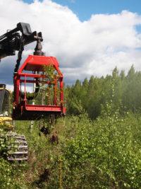 Wyrywanie z korzeniami jako czyszczenie upraw leśnych.