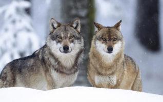 Kupą Mości Panowie, czyli jak nie powinno się liczyć wilki.