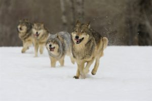 Wilki - dokąd idą te polskie?