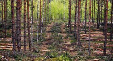 Mity i prawdy o trzebieży lasu.