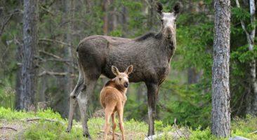 Łoś i jeleń wrogami