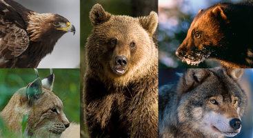 Rosomaki, niedźwiedzie, rysie i ludzie.