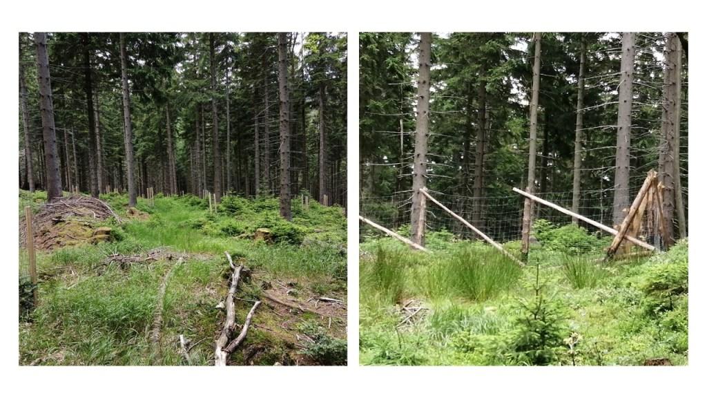 Przebudowa drzewostanu w polskich parkach narodowych