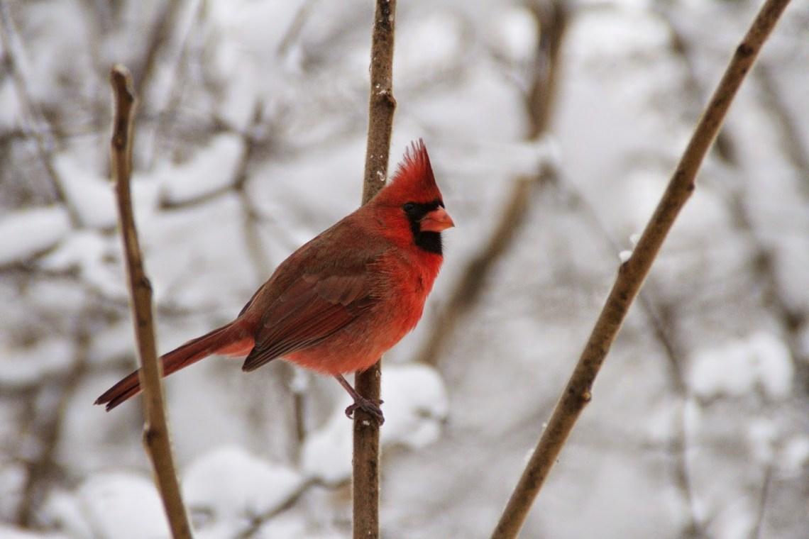 Feederwatch: espiando a las aves