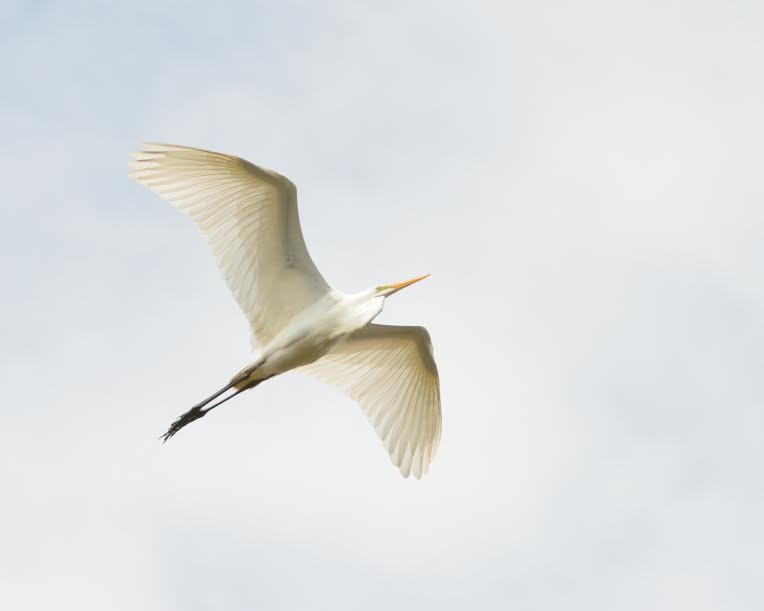A great white egret in flight (All photos © David Cohen, davidcohenphotodc.com)