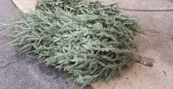 What to do with your Christmas tree: Support Murch School or let the city collect it