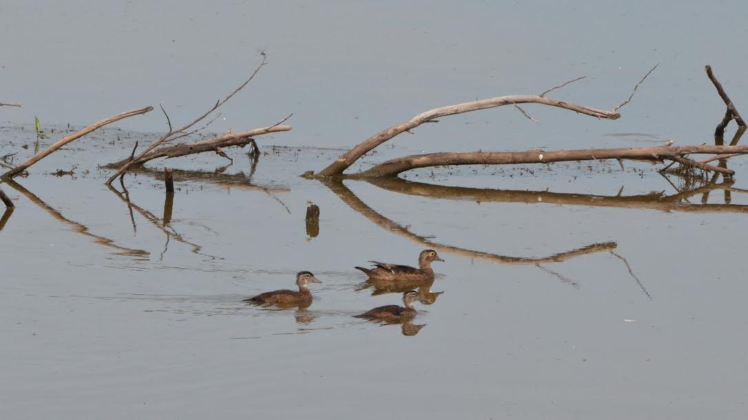 A duck and ducklings on the marsh