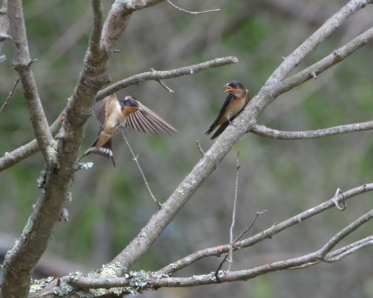 Barn swallows in conversation