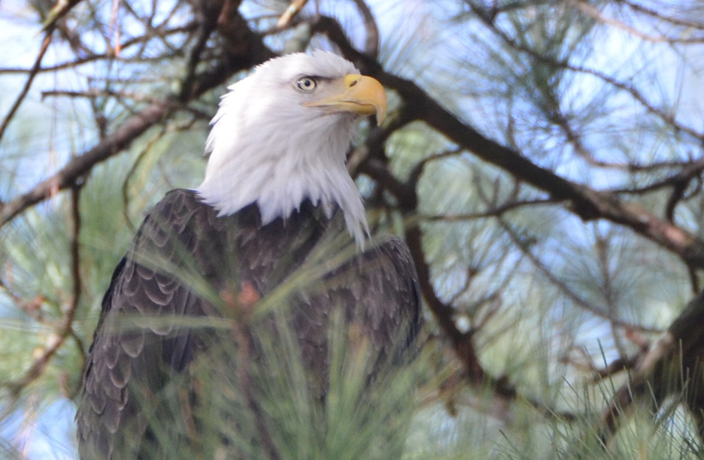 Another bald eagle, in a pine tree.