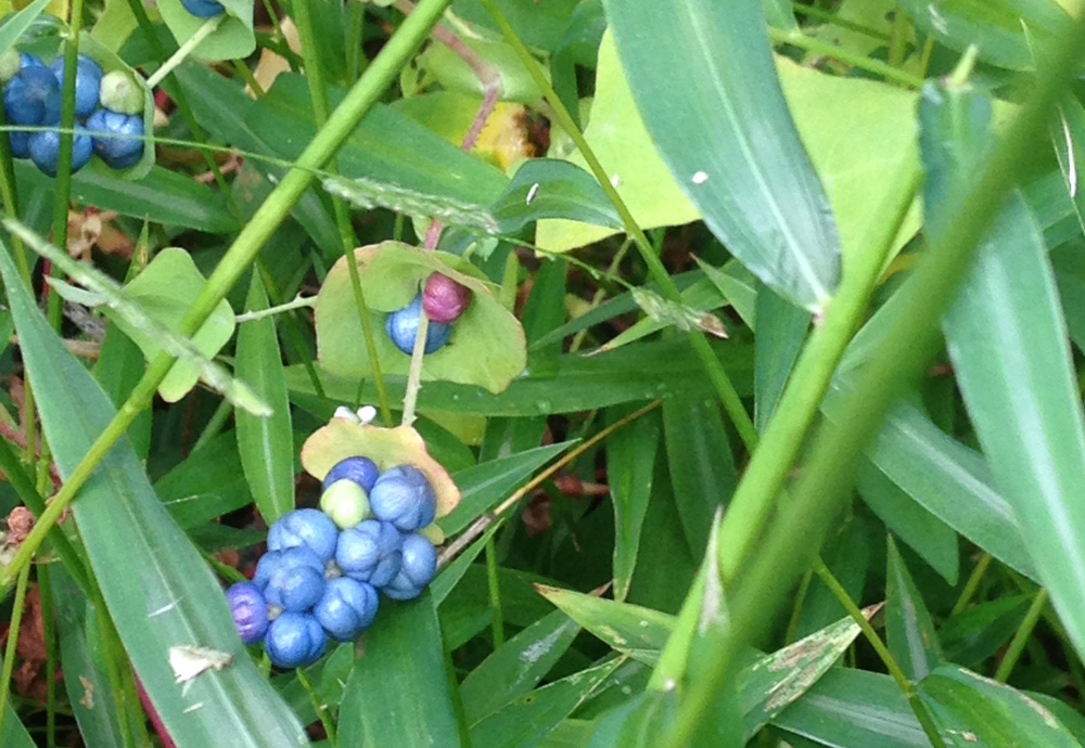 These plants don't belong here: Blue fruit of mile-a-minute vine. (photos by Darlene Robbins)