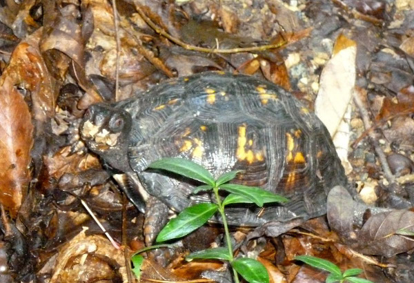This Rock Creek Park box turtle is deep underground by now. (photo by Marlene Berlin)