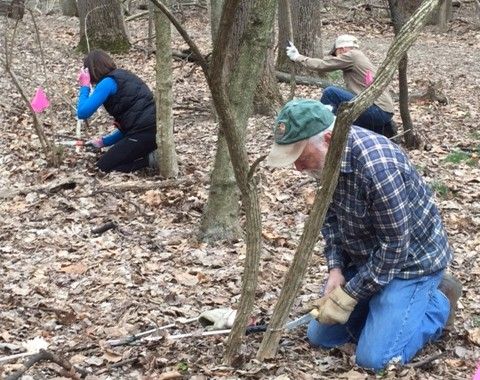 Volunteers worked to remove invasive bush honeysuckle from Broad Branch stream on March 12th and 19th. (photos courtesy John Maleri, Rock Creek Conservancy)
