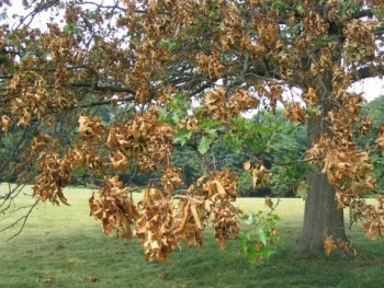 ...can do this to your trees and shrubs. (photos from Bartlett Trees)