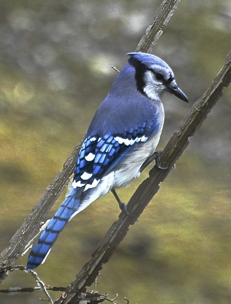 Blue Jay (photo by Patricia Davies)