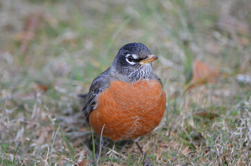 A robin on the Carnegie Institute grounds.