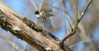 Backyard nature: A wealth of woodpeckers
