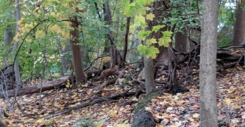 Backyard nature: A fox encounter at Linnean Stream