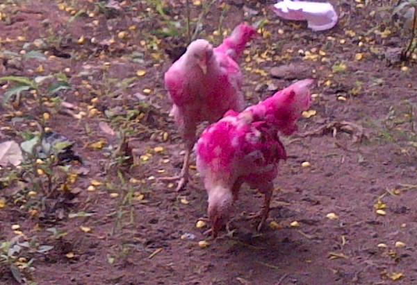 Ghana painted chickens