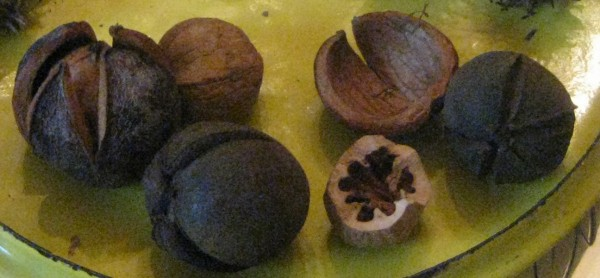 Hickory nuts, including one a squirrel had been gnawing on.